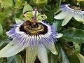 Passiflora edulis - Grenadille.jpg