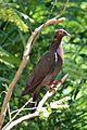 Patagioenas squamosa in Barbados a-11.jpg