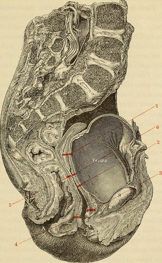 Tolle Weibliche Anatomie Wikipedia Bilder - Anatomie und Physiologie ...