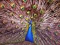 Pavo cristatus (Indian Peafowl), Arnhem, the Netherlands.JPG