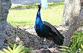 Pavo cristatus (Indian Peafowl) 31.jpg