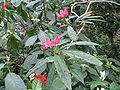 Pavonia intermedia2.jpg