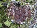 Pectenia cyanoloma 407185.jpg