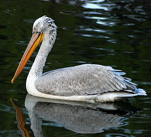 Dalmatian pelican - A Dalmatian pelican swimming at Beijing Zoo, China (2008)
