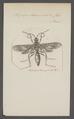 Pepsis - Print - Iconographia Zoologica - Special Collections University of Amsterdam - UBAINV0274 043 06 0032.tif