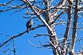 Peregrine Falcon (23368770562).jpg