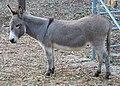 Perry-miniature-donkey-in-Palo-Alto-CA-2016.jpg