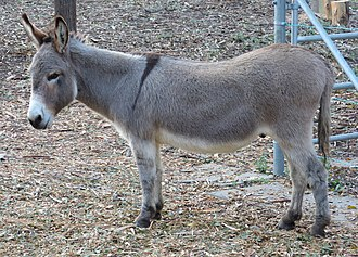 Donkey (Shrek) - Perry, a miniature donkey in Palo Alto, California, was used as the model for Donkey.
