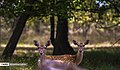 Persian Fallow Deers in Dasht-e Naz Wildlife Refuge 2020-06-02 06.jpg