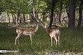 Persian Fallow Deers in Dasht-e Naz Wildlife Refuge 2020-06-02 10.jpg