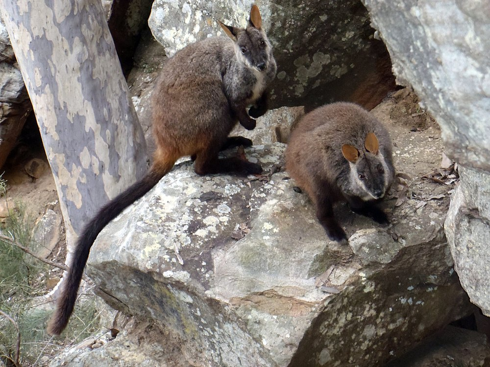 The average litter size of a Brush-tailed rock-wallaby is 1