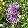 Phacelia tanacetifolia 102050087.jpg