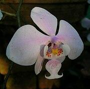 PhalaenopsisSchilleriana.jpg