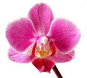A Phalaenopsis flower