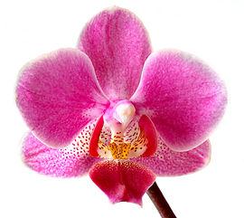 Phalaenopsis er en meget almindelig prydplante.Foto: Aka.