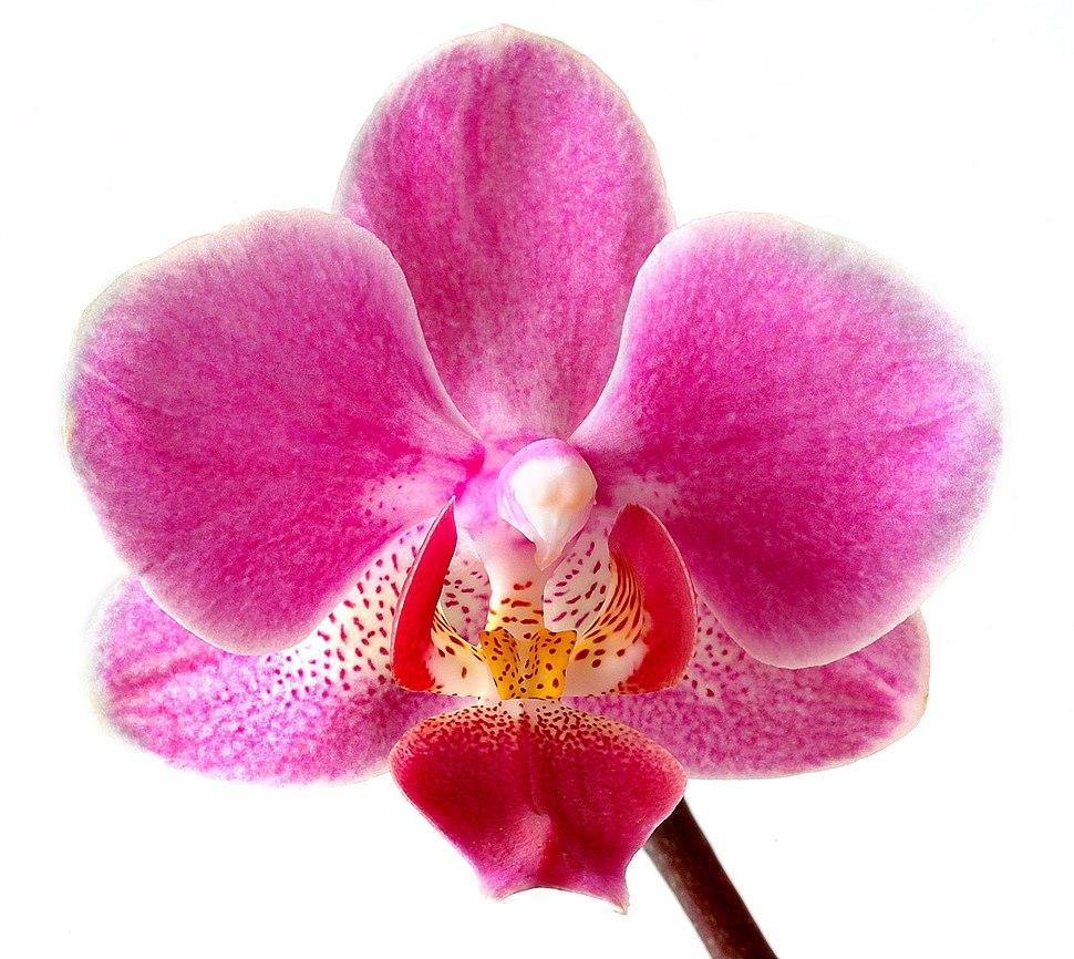 Phalaenopsis (aka)