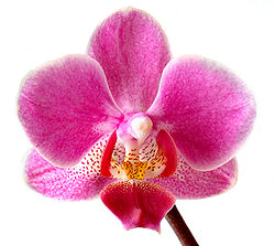 grattis er orkide thai