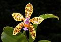 Phalaenopsis fasciata Orchi 004.jpg