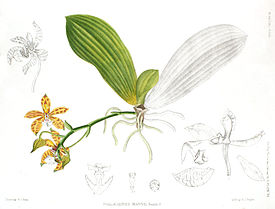Phalaenopsis mannii - A Century of Indian Orchids pl 56 (1895).jpg