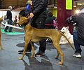 Pharaoh Hound in Riga 2.JPG