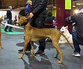 Pharaoh Hound in Riga 2.JPG