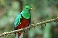 Pharomachrus mocinno Monteverde 01.jpg