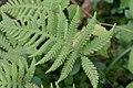 Phegopteris connectilis (Buchenfarn) IMG 9238.jpg