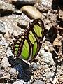Philaethria dido (Nymphalidae- Heliconiinae- Heliconiini) (29749638095).jpg