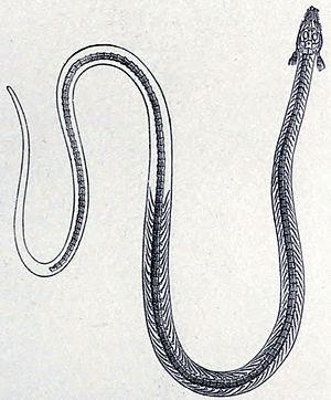 Phlegethontia - Early restoration of P. longissima