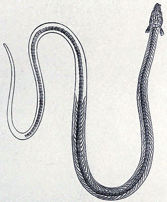 Phlegethontia - Early restoration of P. longissima