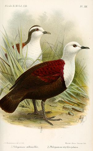 Polynesian ground dove - Illustration of D. e. albicollis and D. e. erythroptera by John Gerrard Keulemans, 1893