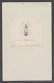 Phloeocopus - Print - Iconographia Zoologica - Special Collections University of Amsterdam - UBAINV0274 026 02 0006.tif