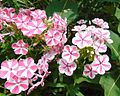 Phlox cultivars 'Peppermint Twist' and 'Twister'.jpg