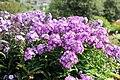 Phlox paniculata - Giardino d'Europa De Gasperi 3.jpg