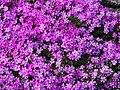 Phlox subulata Floks szydlasty 2017-05-01 01.jpg