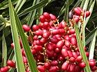 Phoenix pusilla-Fruit.jpg