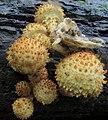 Pholiota squarrosoides (Peck) Sacc 451801.jpg