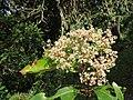 Photinia integrifolia at Mannavan Shola, Anamudi Shola National Park, Kerala (11).jpg
