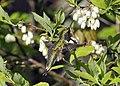 Photo of the Week - Ruby-throated Hummingbird (MA) (7240990096).jpg