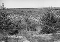 Photograph of Plantation Number 26 in Washburn Ranger District - NARA - 2129289.tif