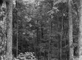 Photograph of Virgin Timber Stand - NARA - 2129169.tif