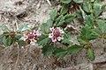 Phyla nodiflora kz01.jpg