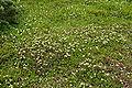 Phyllodoce aleutica 03.jpg