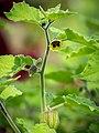 Physalis, lat. Physalis peruviana, Pflanze, Frucht.jpg