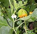 Physalis alkekengi var. franchetii (flower and fruits).JPG
