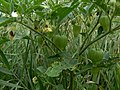 Physalis heterophylla Clammy Ground Cherry fruit and leaves.jpg