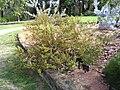 Physopsis chrysophylla.jpg