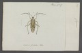 Phytocoris - Print - Iconographia Zoologica - Special Collections University of Amsterdam - UBAINV0274 041 01 0007.tif