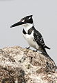 Pied Kingfisher, Ceryle rudis at Borakalalo National Park, South Africa (9822659064).jpg
