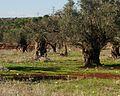 PikiWiki Israel 16764 Plants of Israel.jpg